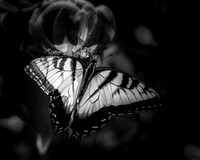 Swallowtail in Black and White